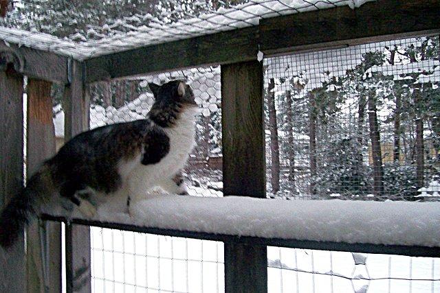 cat in snow in catio