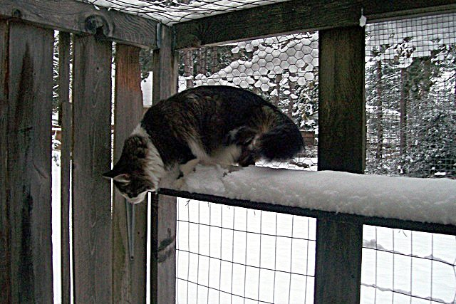 cat in snow in catio