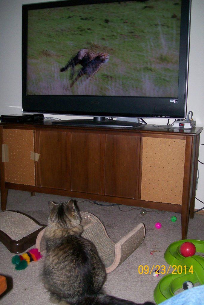 cat watching cheetah