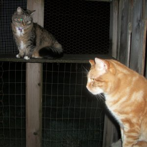 cats Scooby and Opie in catio