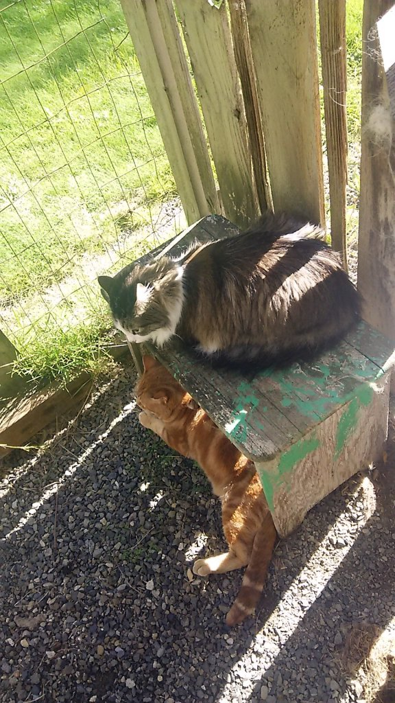 Cats Zeke and Scooby in catio