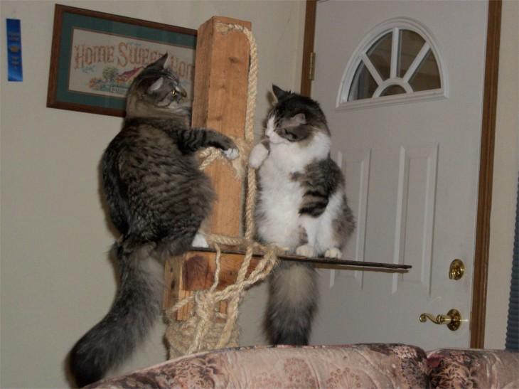Opie and Zeke on cat tree