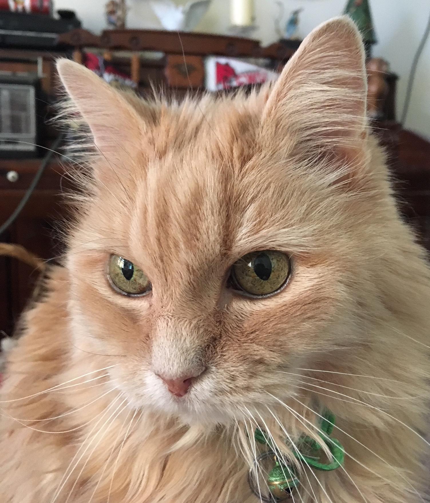 Marigold cat