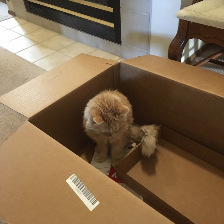 Marigold cat in box