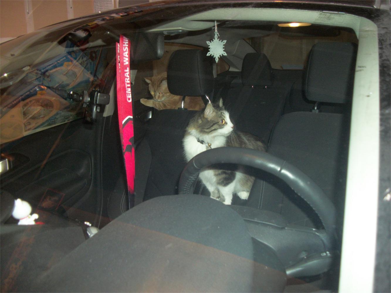 Cats Scooby Zeke in car