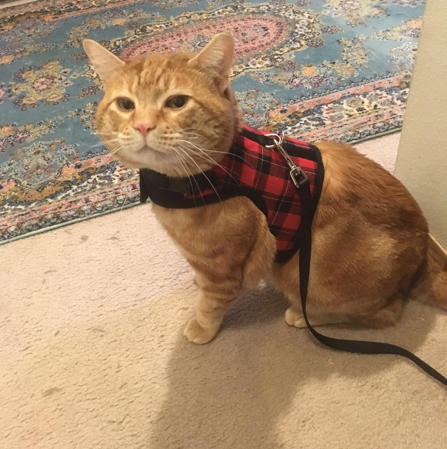 Scooby scottish harness