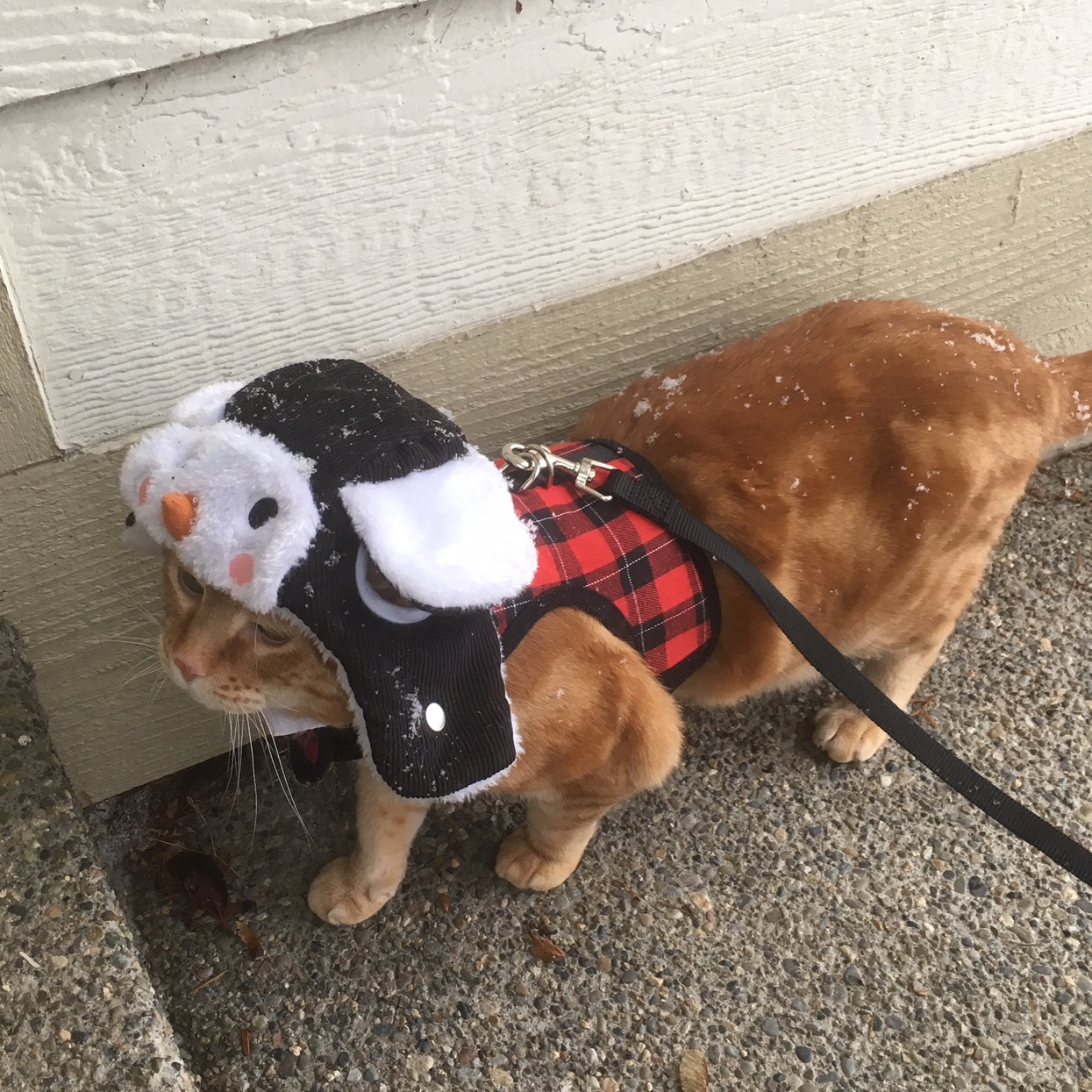 Scooby cat