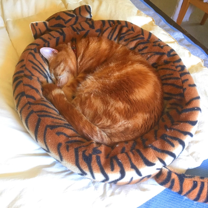 Scooby cat in catbed