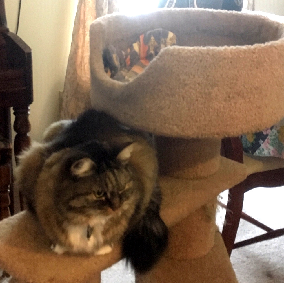 Opie on cat tree