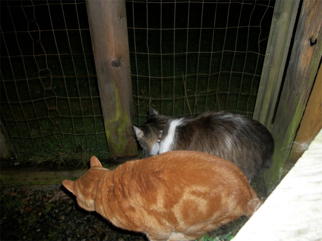 Scooby and Zeke cats in catio